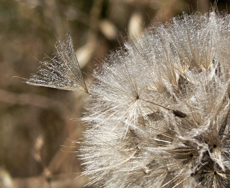 Mon 06-06-05 Dandelion