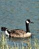 Thu 06-06-29 BikePath Canada Goose