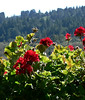 Sun 03-19-06  Sonoma with Joanne - Geraniums