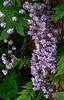 06-05-18 Filoli - Double Wisteria Blossoms