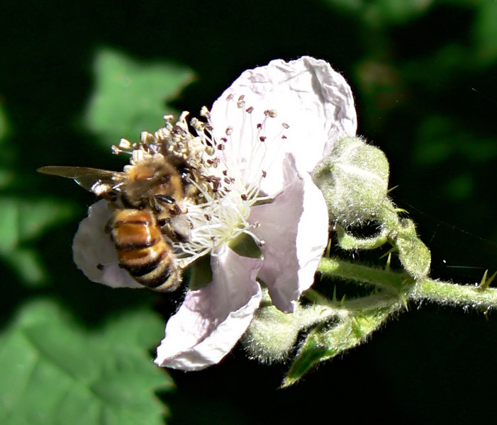 06-05-30 Bell and Back - Bee and Blackberry Flower