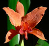 06-05-30 Orange Orchid rebloomer