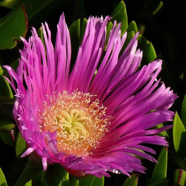 Tue 11-7-06 Pink Ice Plant