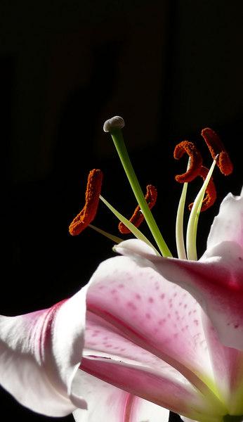 Fri 11-10-06 Lily Stamens Closeup