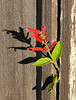 Tue 11-7-06 Red Flower and Fence