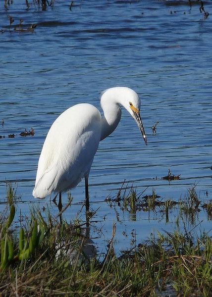 Tue 11-7-06 Egret