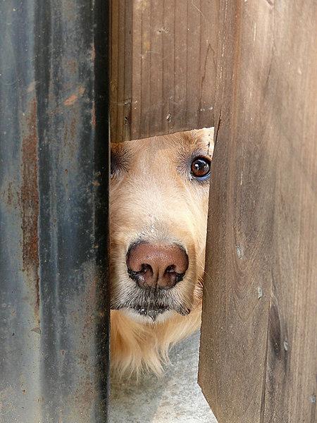 Mon 10-09-06 - Dog Peeking thru Fence