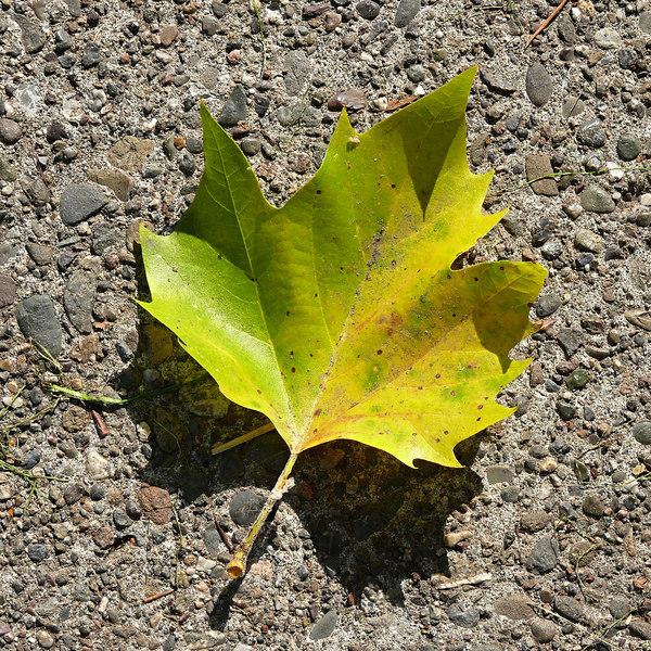 Wed 10-11-06 Autumn Leaf