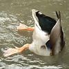 Sat 09-30-06 Montelena Duck Butt
