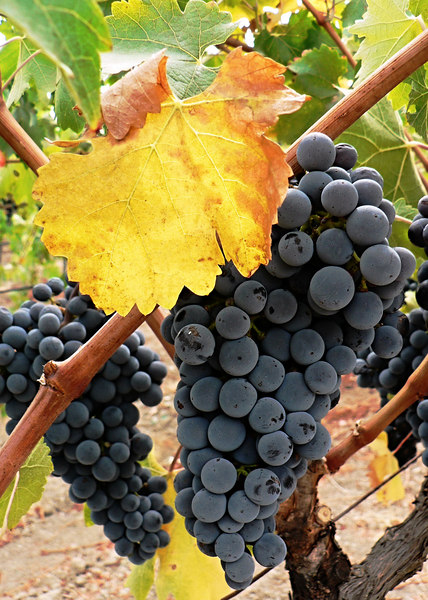 Sat 09-30-06 Baldacci Grapes