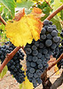 Sat 09-30-06 Baldacci Grapes