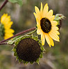 Fri 09-22 Boulder, CO Black-eyed Susan