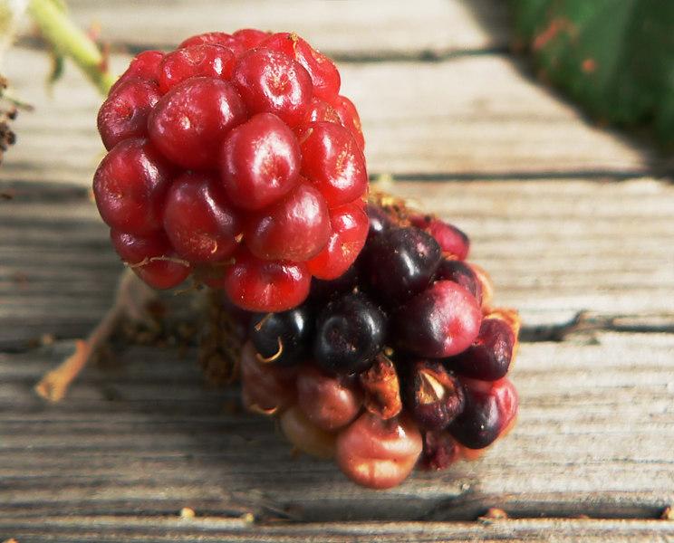 Thu 06-09-07 Blackberries Closeup