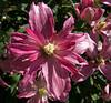 4-25-2007 -Pink Clematis