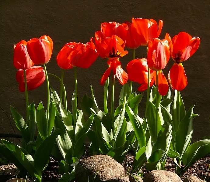 04-09-07 Spring Has Sprung-Red Tulips