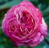 8-15-2007 Yves Piaget<br /> <br /> Another one of my favorite roses. Very fragrant. Beautiful color.