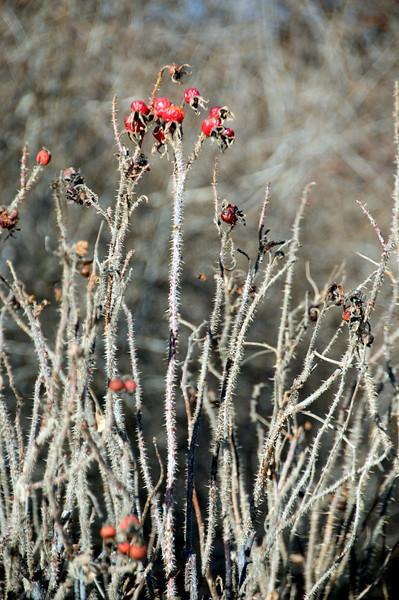 12-24-07 Jamestown Winter Rosehips