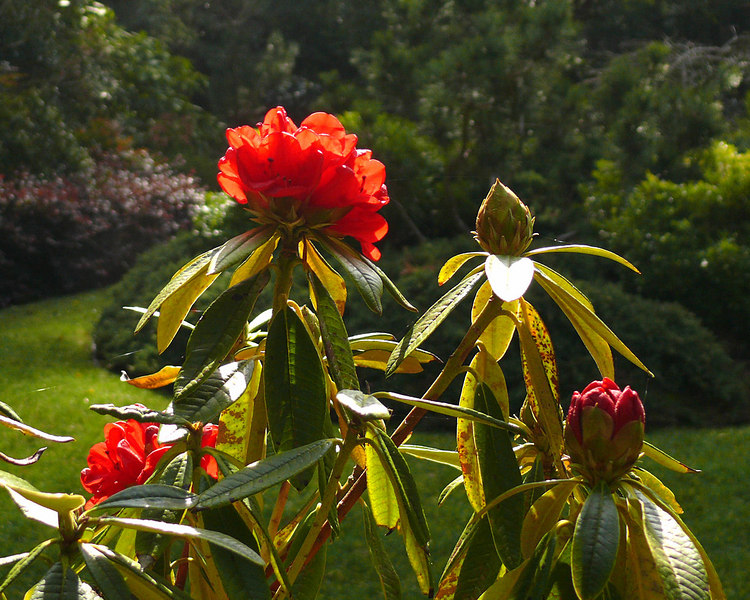 Tue 02-06-07 First Rhododendrons