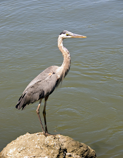 7-15-2007 - Hike to Tiburon - Blue Heron