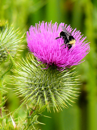 7-9-2007 Bumblebee