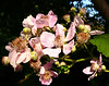 06-21-2007 Summertime - Blackberry Flowers
