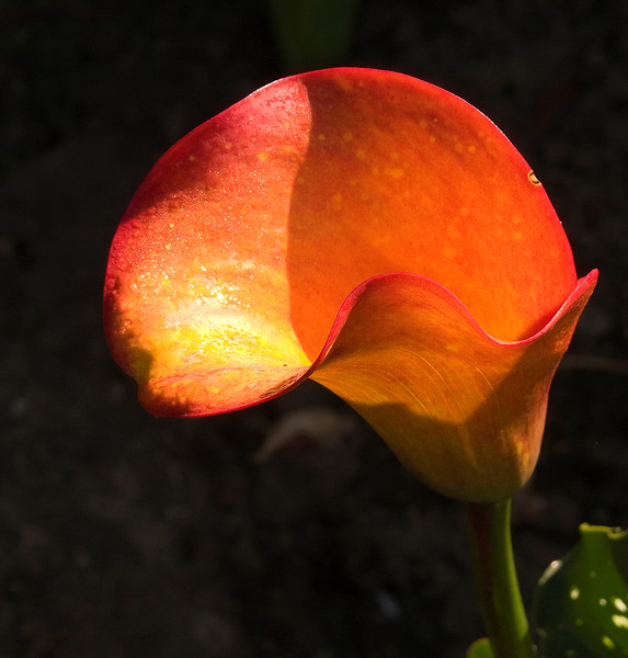 06-21-2007 Summertime - Red Calla