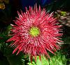 HUGE Gerbera daisy