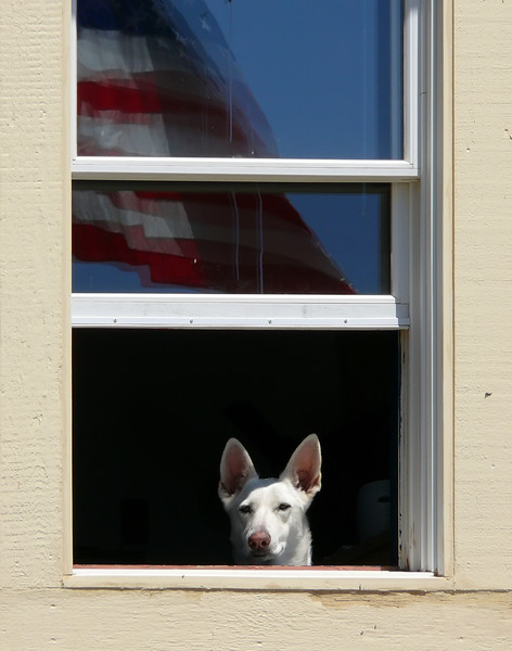 5-20-07 Coast Guard Dog - This guy was checking us out as we walked by the Coast Guard station at Fort Baker. I liked the flag reflection in the window.