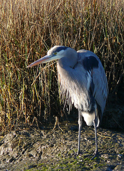 11-29-07 Bikepath - Great Blue Heron