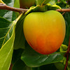 10-18-2007 Neighborhood Persimmon<br /> <br /> I always love shooting persimmons - I love the gradation of color before they go all orange.