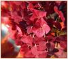 10-6-2007 Fall Hydrangea
