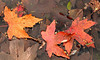 10-18-2007 Neighborhood - Fall Leaves<br /> <br /> Even in a puddle in the gutter - beautiful fall colors