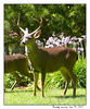9-20-2007 Buck in the Front Yard