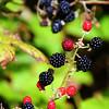 Jamestown Sunday 8-24-08 Blackberries