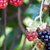 08-12-08 Blackberry Season - they've been really good this year - abundant and sweet. Unfortunately, they signal the end of summer. Altough fall here is usually the best weather of the year.<br /> <br /> These panoramic crops are the ones I use on the tamvalley.org website header - kind of a difficult shape shot to get right. But I try to show what's happening locally - so, for now, blackberries.