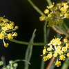 08-01-08 Wild Fennel and Bee