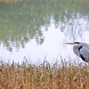 12-03-08 Blue Heron on the Bike Path