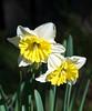 02-27-08 Daffodils