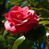 02-27-08 Camellia