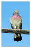 2-9-08 Pigeon (1 of 1)