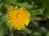 01-17-08 Marina Green - Dandelion<br /> <br /> I can't seem to resist taking pictures of backlit flowers, even dandelions.