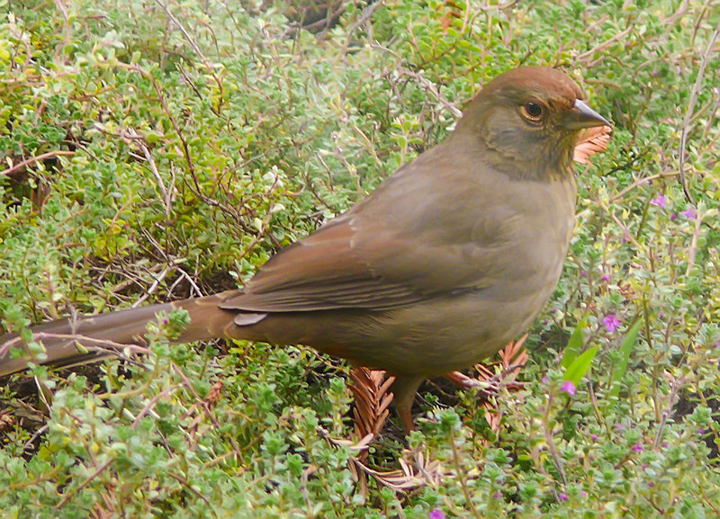 """01-03-08 California Towhee - another shot out my office window. This time I decided to find out what kind of bird this is - rather than just calling it a """"brown bird""""! He was hunting in the woolly thyme under the dogwood tree."""