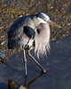 01-16-08 BIRDS - Great Blue Heron
