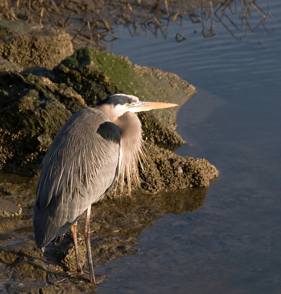 01-16-08 BIRDS - Great Blue Heron<br />  He was standing just below the bike path near the bridge closest to the Holiday Inn. Beautiful morning light.