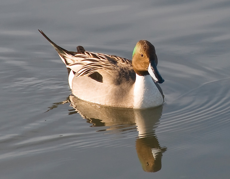 01-16-08 BIRDS - Pintail<br /> <br /> Another pintail - this time with a bit of green reflected on his head.