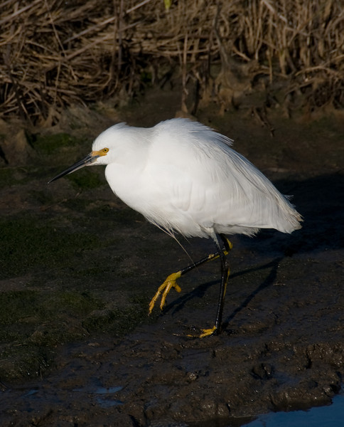 01-16-08 BIRDS - Snowy Egret <br /> <br /> I've had a hard time getting these white egrets properly exposed - so white in the bright sun. But - with the new camera - and Lightroom - they're looking better!