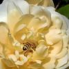 07-25-08 la Bee en Rose -2