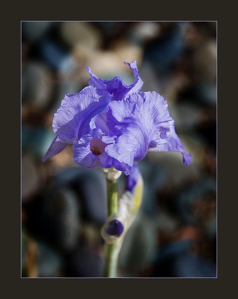 03-17-08 Iris