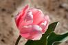 03-17-08 Pink Tulip