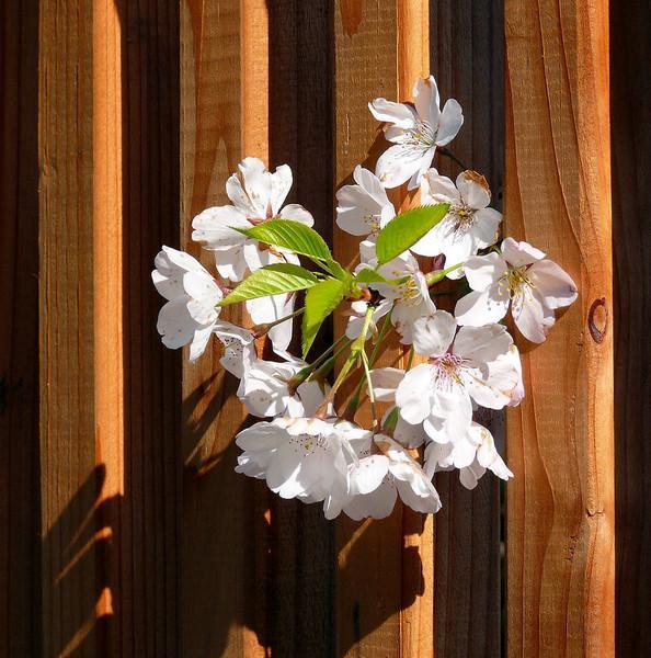 03-22-08 Apple Blossoms